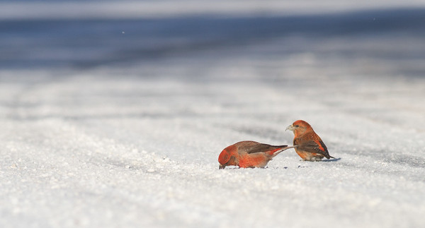Red Crossbill group gritting on Hwy 1 just east of Hwy 2 Lake County MN -2598