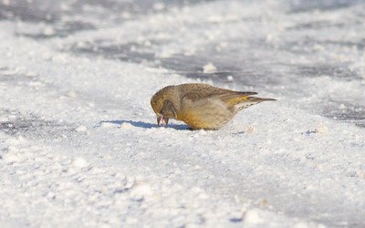 Red Crossbill group gritting on Hwy 1 just east of Hwy 2 Lake County MN -2540