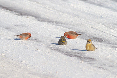 Red Crossbill group gritting on Hwy 1 just east of Hwy 2 Lake County MN -2579