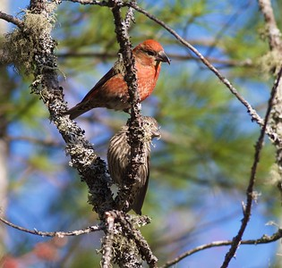 Red Crossbill Echo Trail Ely MN IMG_7886