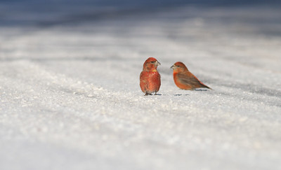 Red Crossbill group gritting on Hwy 1 just east of Hwy 2 Lake County MN -2607