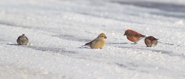 Red Crossbill group gritting on Hwy 1 just east of Hwy 2 Lake County MN -2563