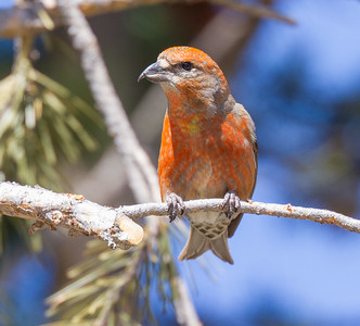 Red Crossbill male Yellowstone National Park WYIMG_6143