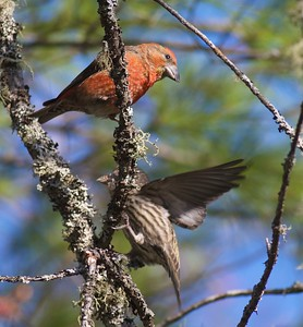 Red Crossbill Echo Trail Ely MN IMG_7882