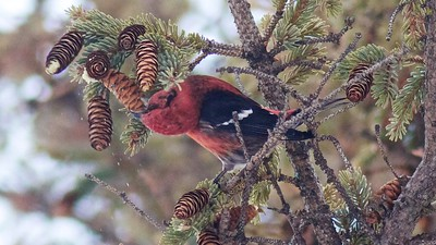 White-winged Crossbill Duluth Zoo Duluth MN IMG_0073922
