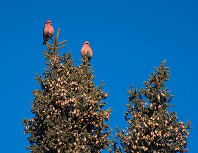 White-winged Crossbill flock in spruce top Sax-Zim Bog MN DSC00926
