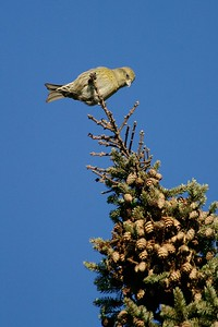 White-winged Crossbills use their crossed mandibles between the spruce cone scales and pry them apart to get at the seeds with their tongue. They often hang upside down like little parrots to access and clip the cones [November; Fond du Lac State Forest Carlton County, Minnesota]