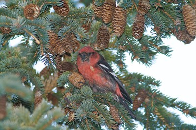 White-winged Crossbills use their crossed mandibles between the spruce cone scales and pry them apart to get at the seeds with their tongue. They often hang upside down like little parrots to access and clip the cones [January; Lakewalk, Corner of the Lake, Duluth, Minnesota]