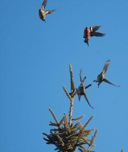 White-winged Crossbill flock in spruce Sax-Zim Bog MN DSC01055