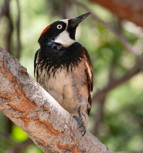 Acorn Woodpecker Cave Creek Ranch Chiricahua Mountains near Portal southeast Arizona June 6-12 2019-00891
