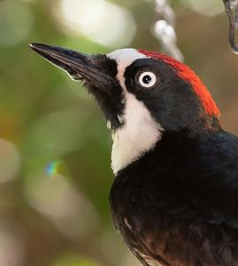 Acorn Woodpecker Cave Creek Ranch Chiricahua Mountains near Portal southeast Arizona June 6-12 2019-00885