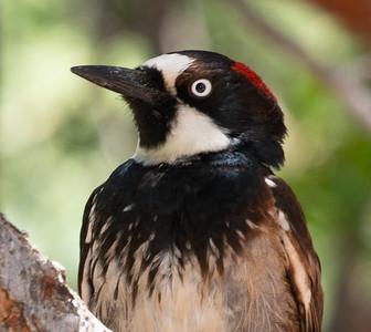 Acorn Woodpecker Cave Creek Ranch Chiricahua Mountains near Portal southeast Arizona June 6-12 2019-00890