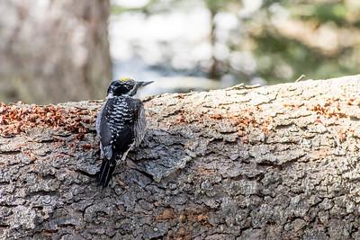 American Three-toed Woodpecker Julies Jewel of a Bog St  Louis County Cook MN DSC03801
