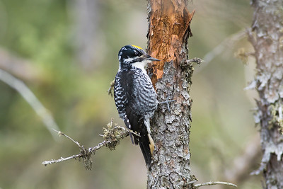 American Three-toed Woodpecker Julies Jewel of a Bog St  Louis County Cook MN DSC03780