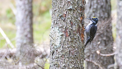 American Three-toed Woodpecker male Warren Nelson Memorial Bog Blue Spruce Road Sax-Zim Bog MNP1022433