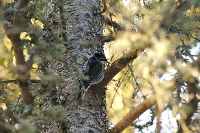 American Three-toed Woodpecker Tim Bate's yard Duluth MN IMG_005393
