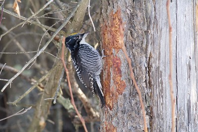 American Three-toed Woodpecker North Admiral Road Sax-Zim Bog MN IMG_008970