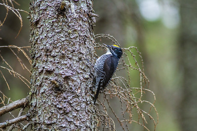 American Three-toed Woodpecker male Warren Nelson Memorial Bog Blue Spruce Road Sax-Zim Bog MNIMG_1320
