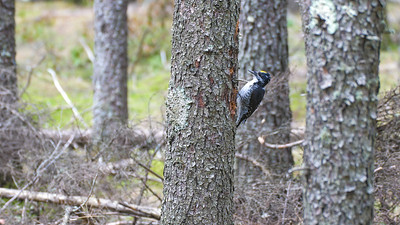 American Three-toed Woodpecker male Warren Nelson Memorial Bog Blue Spruce Road Sax-Zim Bog MNP1022431