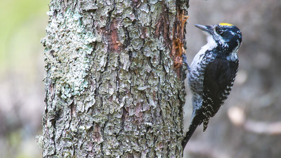 American Three-toed Woodpecker male Warren Nelson Memorial Bog Blue Spruce Road Sax-Zim Bog MNP1022430