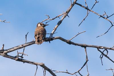 Arizona Woodpecker Hunter Canyon southeast Arizona June 6-12 2019-01280
