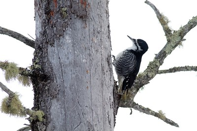 Black-backed Woodpecker McDavitt Road Sax-Zim Bog MN IMG_8798