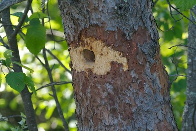 Black-backed Woodpecker nest hole [June; Fond du Lac State Forest, Carlton County, Minnesota]