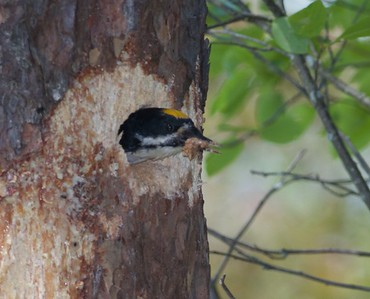 Black-backed Woodpecker nest Norris Camp Beltrami Island State Forest Lake of the Woods Co MN IMG_1456