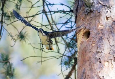 Black-backed Woodpecker nest in Jack Pine Fenske Lake Echo Trail Superior National Forest Ely MNIMG_0187