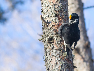 Black-backed Woodpecker foraging Nichols Lake Road Sax-Zim Bog MN IMG_5639
