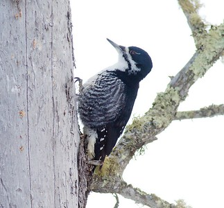 Black-backed Woodpecker McDavitt Road Sax-Zim Bog MN IMG_8795