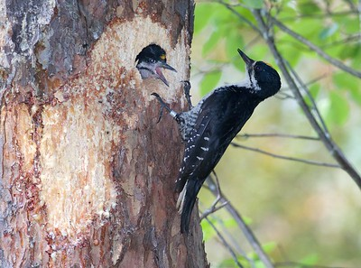 Black-backed Woodpecker nest Norris Camp Beltrami Island State Forest Lake of the Woods Co MN IMG_1467