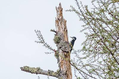 Black-backed Woodpecker Blue Spruce Road Sax-Zim Bog MN DSC07113