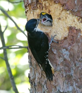 Black-backed Woodpecker feeds young at nest hole [June; Fond du Lac State Forest, Carlton County, Minnesota]