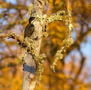 Black-backed Woodpecker female Tamarack gold Orr Bog Walk Orr MN IMG_4300