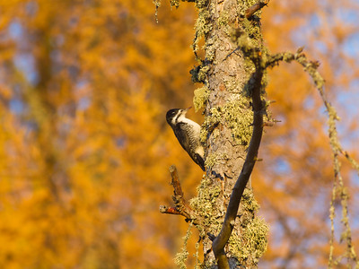 Black-backed Woodpecker female Tamarack gold Orr Bog Walk Orr MN IMG_4313