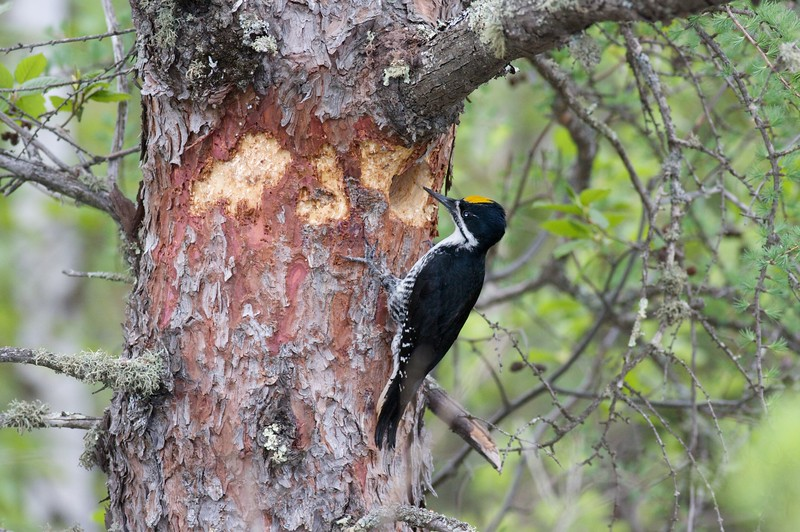 This is the second year in a row that a pair of Black-backed Woodpeckers has nested in this living Tamarack [May; Fond du Lac State Forest, Ditchbanks, Carlton County, Minnesota]