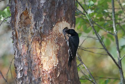 Black-backed Woodpecker nest Norris Camp Beltrami Island State Forest Lake of the Woods Co MN IMG_1459