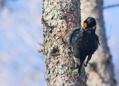 Black-backed Woodpecker foraging Nichols Lake Road Sax-Zim Bog MN IMG_5644
