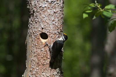 Black-backed Woodpecker nest cavity Orr Bog Walk Orr MN IMG_9578