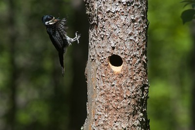 Black-backed Woodpecker nest cavity Orr Bog Walk Orr MN IMG_9635