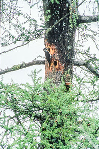 Black-backed Woodpecker nest Fond du lac State Forest Carlton County MN SLIDE SCAN BIRDS-26