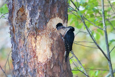 Black-backed Woodpecker nest Norris Camp Beltrami Island State Forest Lake of the Woods Co MN IMG_1466