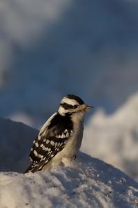 Downy Woodpecker [January; Skogstjarna, Carlton County, Minnesota]
