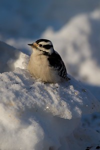 Downy Woodpecker [January; Skogstjarna, Carlton County, Minnesota]