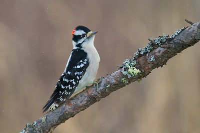 Downy Woodpecker approaching a deer carcass for a meal of suet [December; Sax-Zim Bog, Minnesota]