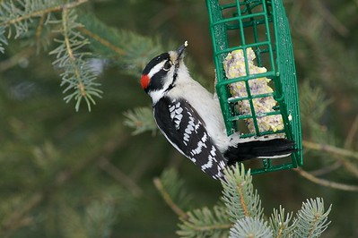 Downy Woodpecker at suet feeder [February; Sax-Zim Bog, Minnesota]