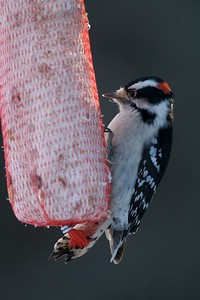 Downy Woodpeckers have smaller bills and a smaller body than their larger cousins—the Hairy Woodpeckers [February; Sax-Zim Bog, northern Minnesota]