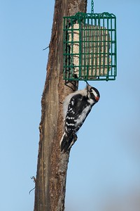 Downy Woodpeckers have a shorter bill than Hairy Woodpeckers [[January; Sax-Zim Bog, Minnesota]
