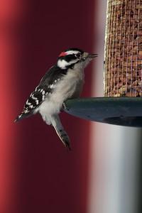 Downy Woodpecker at peanut feeder [January; Skogstjarna, Carlton County, Minnesota]